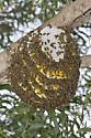 Honey Bee - Apis mellifera - female