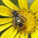 Anthidium species? - Dianthidium - male - female