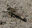 Robberfly - Efferia albibarbis