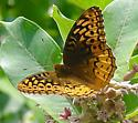 Great Spangled Fritillary - Speyeria cybele - female