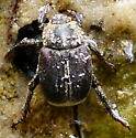 Unknown Beetle - Hoplia