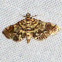 Checkered Apogeshna Moth - Hodges #5177 - Apogeshna stenialis