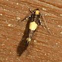 moth - Brymblia quadrimaculella