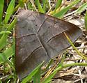 Texas Mocis Moth in Maryland - Mocis texana
