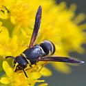 Mason wasp on stiff goldenrod - Euodynerus hidalgo - female