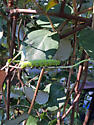 Green caterpillar on trumpet honeysuckle - Hemaris diffinis