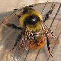 Small Bumble - Bombus rufocinctus