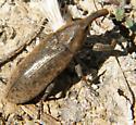 weevil - Lixus concavus