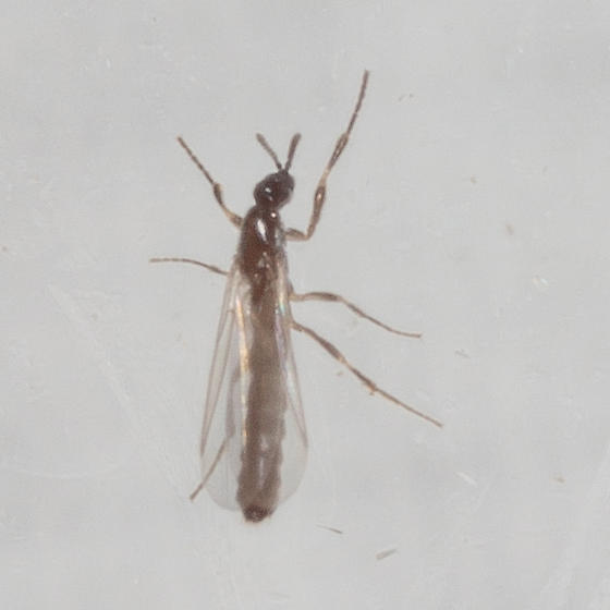 Insect with long abdomen - Psectrosciara