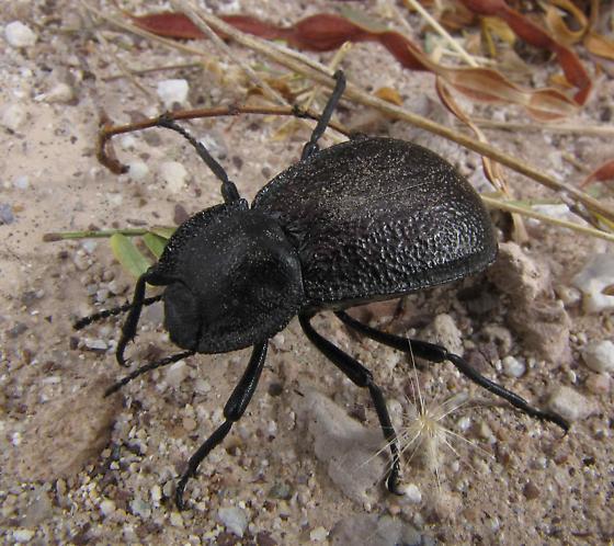 Darkling Beetle - Stenomorpha