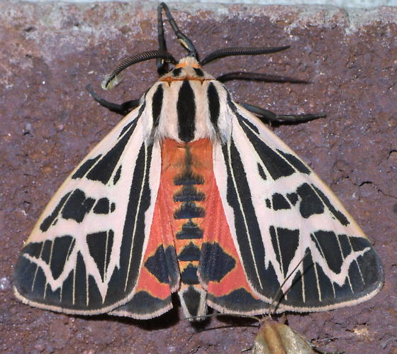 Black and white tiger moth - Apantesis phyllira