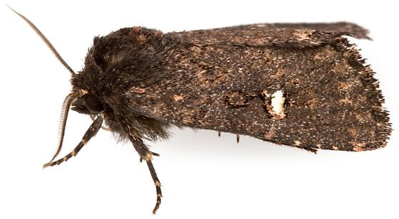Noctuidae? - Hexorthodes inconspicua - male