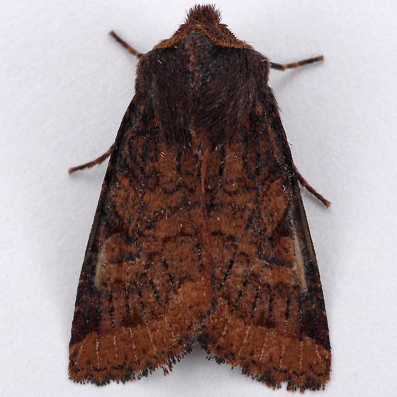 Unknown Noctuid - Orthosia praeses