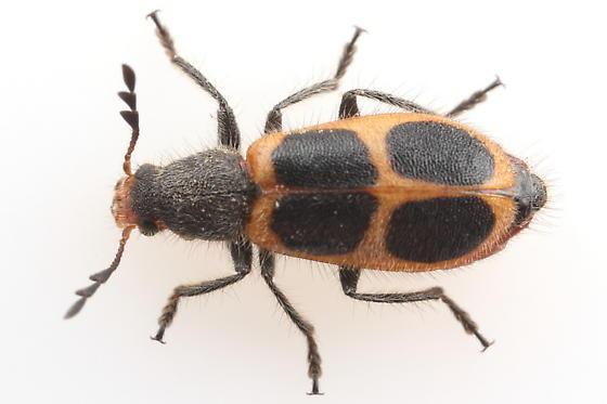 Clerid - Pelonides granulatipennis