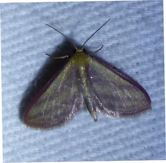 Leptostales laevitaria - Raspberry Wave Moth - Leptostales laevitaria