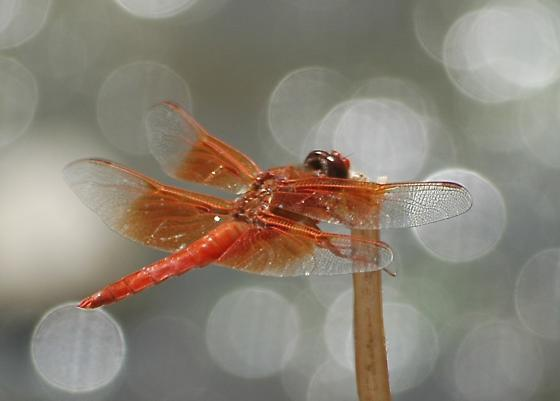 Skimmer - Neon or Flame? - Libellula saturata - male