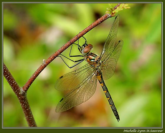 Petite Emerald (Dorocordulia lepida) - Dorocordulia lepida - female