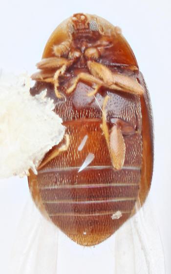 Oldies-25 - Clypastraea