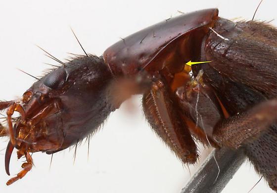 Beeria nematocera (Casey) - Beeria nematocera - female