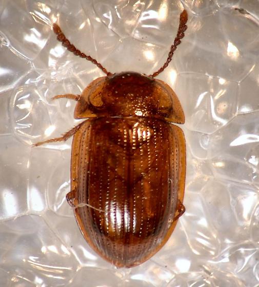 Beetle - Ipelates latus
