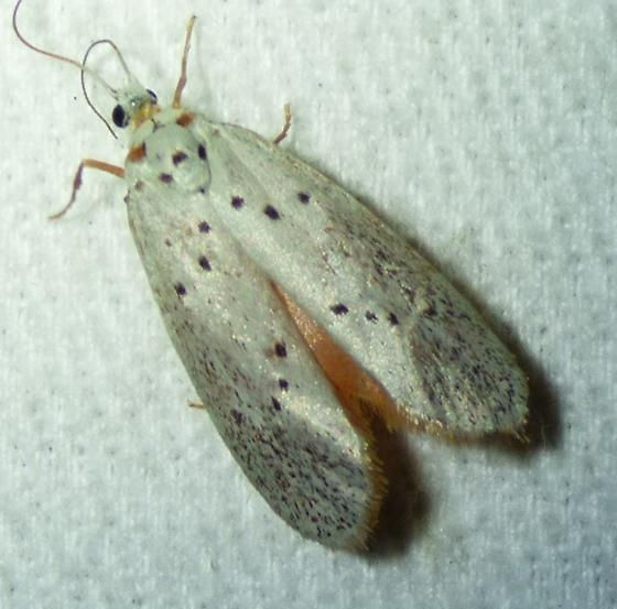 unknown moth - Lactura subfervens