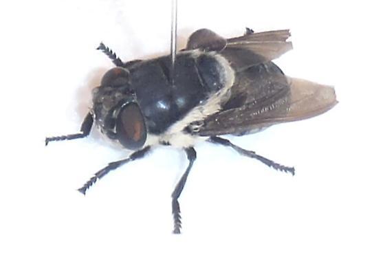 Rabbit Bot Fly  - Cuterebra lepusculi - male