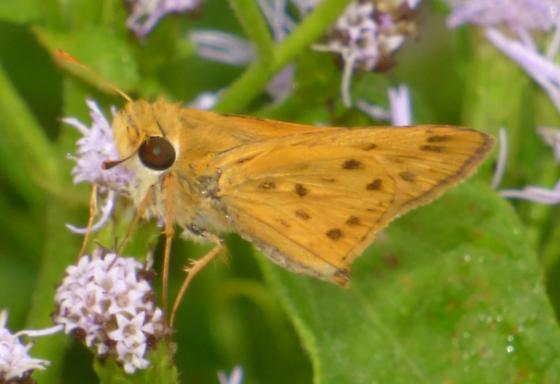UnknownButterfly37 - Hylephila phyleus