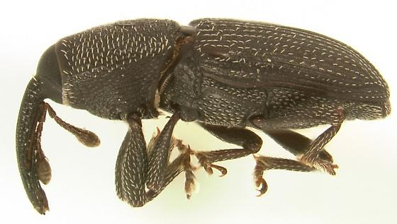 Apinocis deplanatus