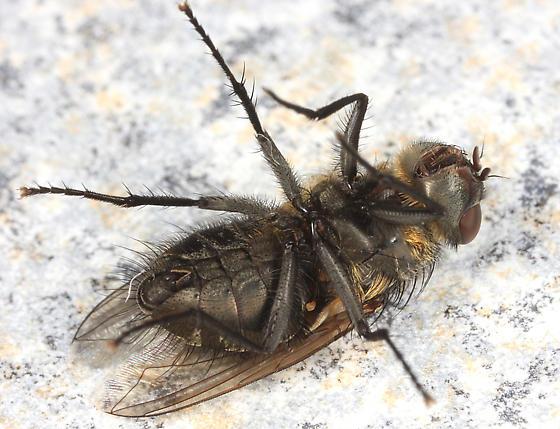 blow fly? - Pollenia rudis