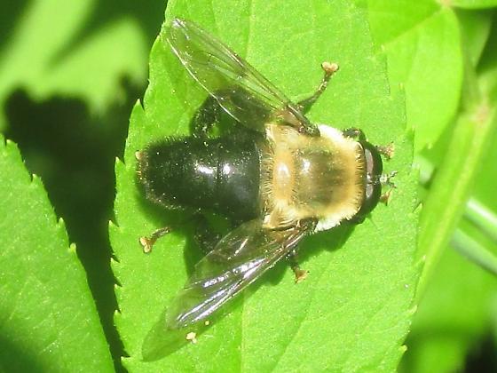 Syrphidae - Mallota bautias