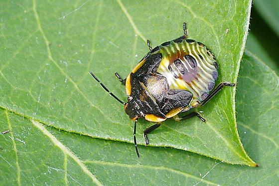 Green Stink Bug nymph - Chinavia hilaris