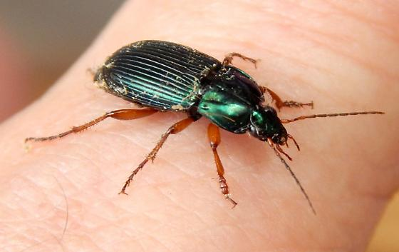 Not your usual metallic green beetle - Poecilus chalcites