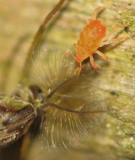 Calling all MITE SPECIALISTS! Predatory mite attacking midge