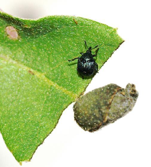 Leaf-roll thief weevil on oak - Pterocolus ovatus