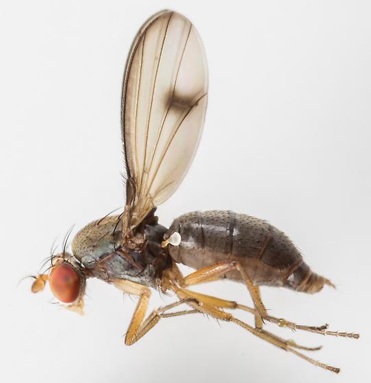 Fly - Diastata