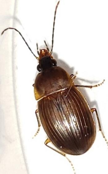 Small carabid ground beetle Florida - Oodinus pseudopiceus
