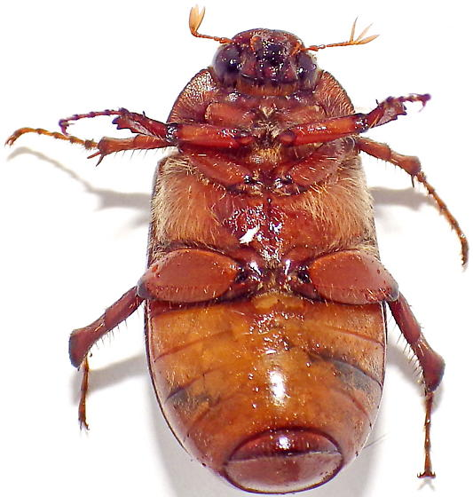 May Beetle - Phyllophaga hirtiventris - female