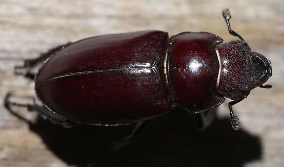 Lucanus  - Lucanus elaphus - female