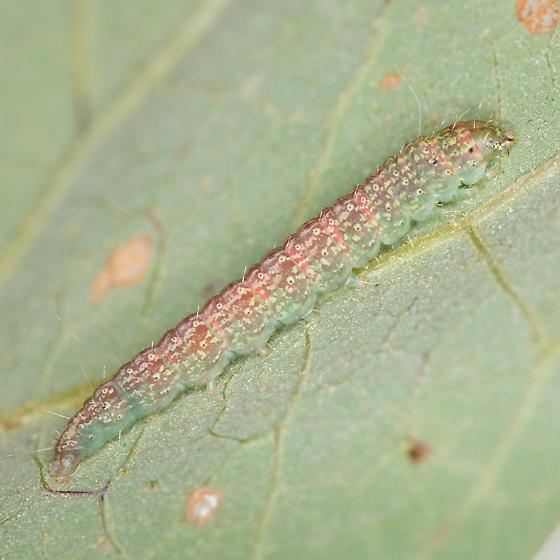 Salebriaria Species? - Salebriaria ademptandella