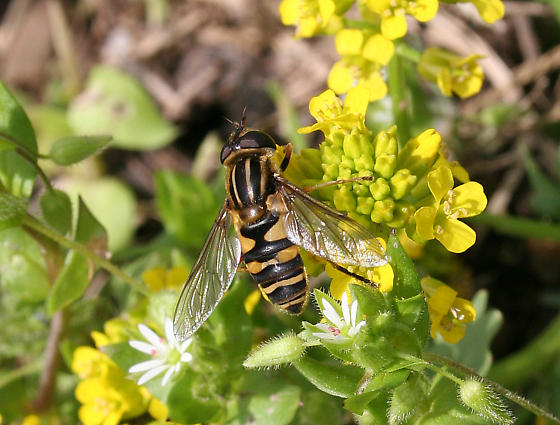 Which pollinating fly, please? - Helophilus fasciatus - female