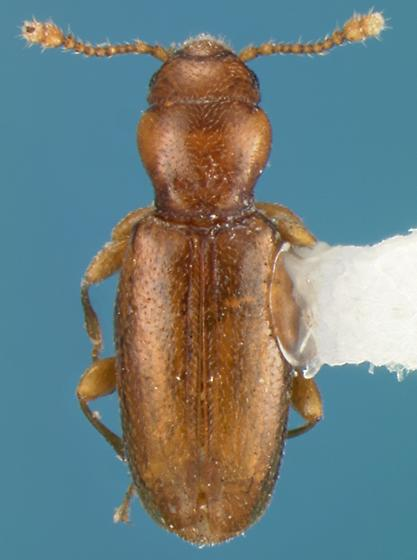 Beetle - Holoparamecus pacificus