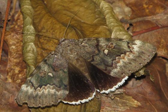 underwing moth - Catocala epione