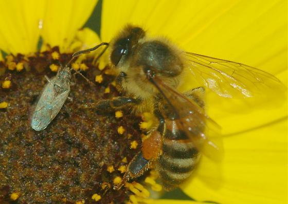 Bugs of December #2 - Xyonysius californicus