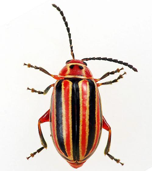 Flea Beetle - Disonycha caroliniana
