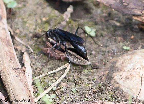 wasp - Phanagenia bombycina