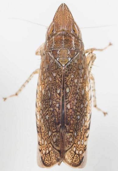 Leafhopper - Scaphytopius acutus - female