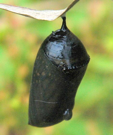 monarch pupa? - Danaus plexippus