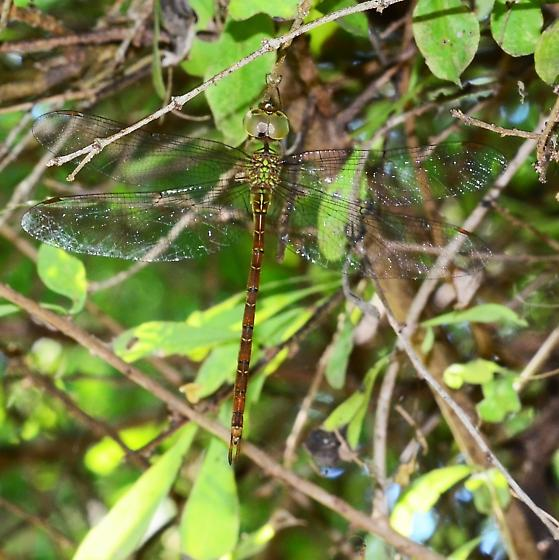 Triacanthagyna septima - Pale-green Darner - Tricanthagyna septima