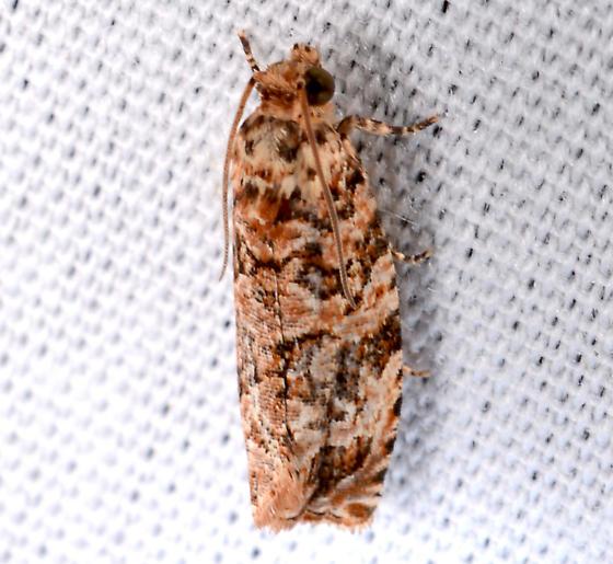 Phaecasiophora niveiguttana