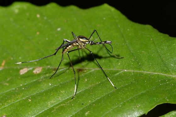 Mosquito - Toxorhynchites rutilus - female